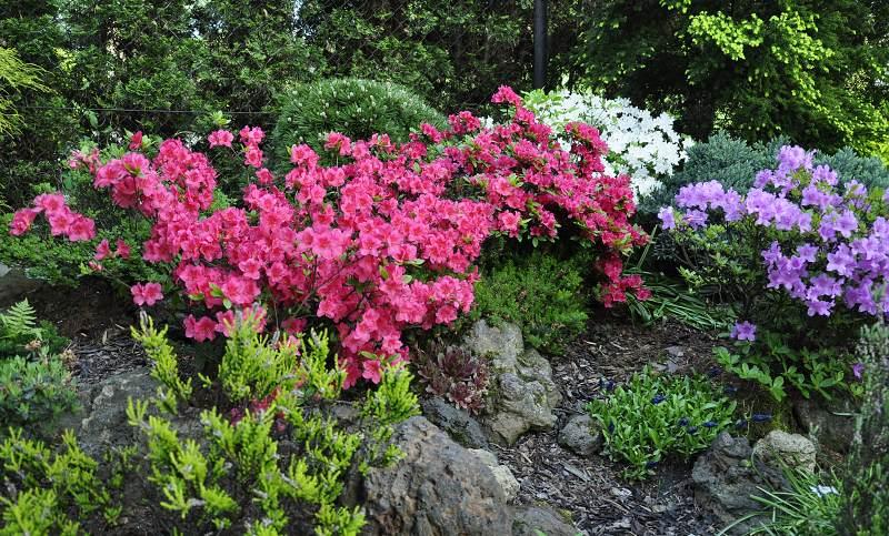 rododendrony.jpg