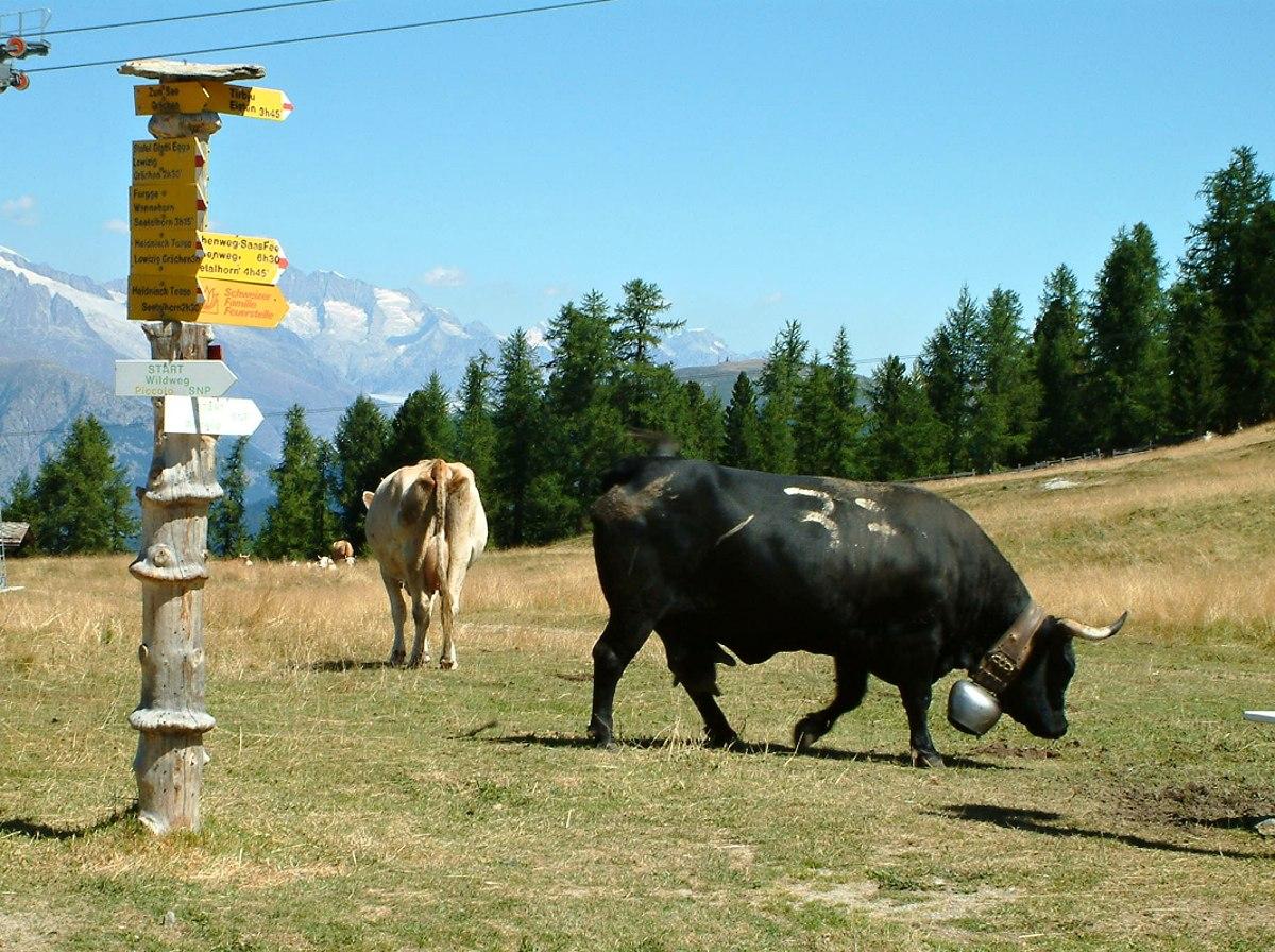 bojove-kravy-2.jpg